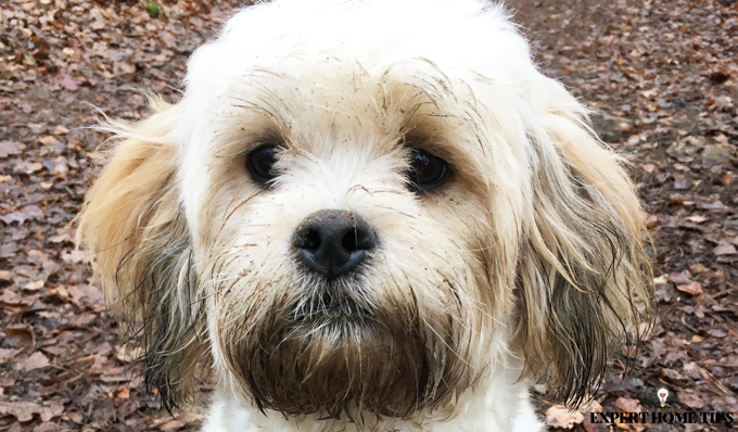 Muddy dog shichon