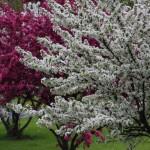 Плодовые культуры как атрибут дизайна сада